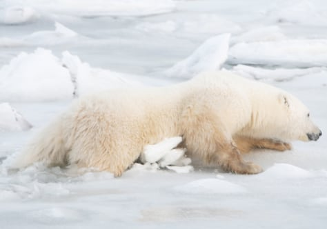 Image: Polar bear falls through thin ice