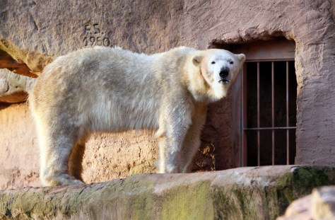 Image: Polar Bear Vera