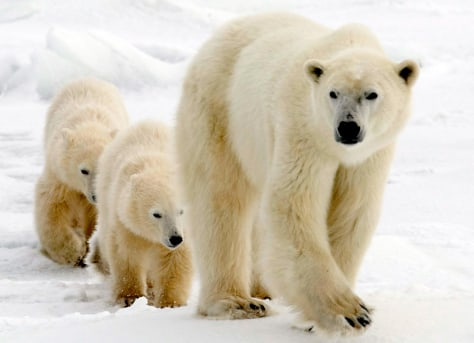 Image: Polar bears