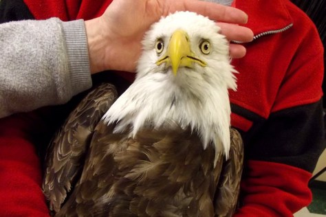 Image: A bald eagle that was brought into the Wildlife Rehabilitation Center that later died.