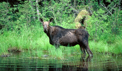 Image: A moose wades through a pond in Minnesota.