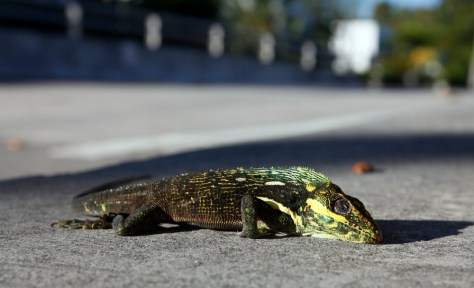 Image: Cold iguana that fell from a tree