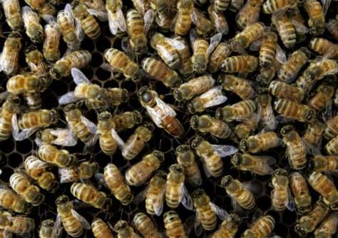 Image: A honeybee colony