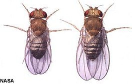 Image: Illustration of fruit flies.