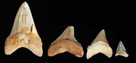 Image: Megladon teeth