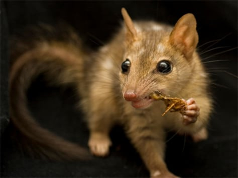 Image: Quoll