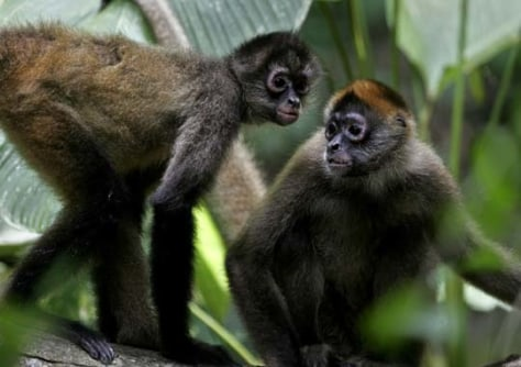 Image: Two spider monkeys