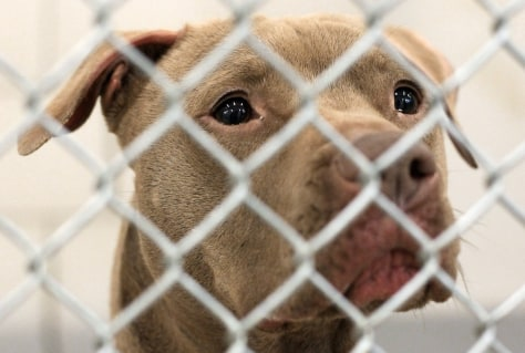 Image: Pit bull seen through cage bars