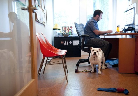 Image: Bulldog sits with owner at desk