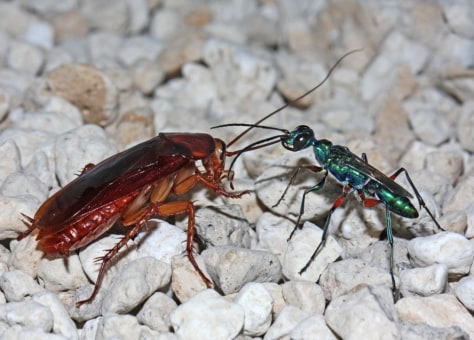 Image: Female of the emerald cockroach wasp Ampulex compressa manipulating an American cockroach, which has been made docile by wasp venom and that will serve as food for the wasp larva.