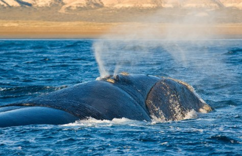 Image: Right whale