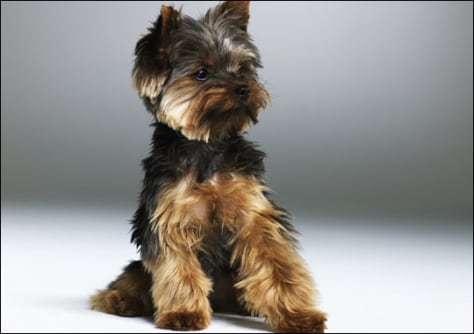 Image: Yorkshire Terrier