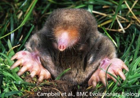 Image: Mole