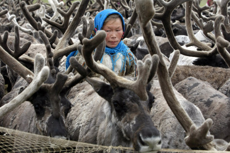 Image: Nenet woman with reindeer herd