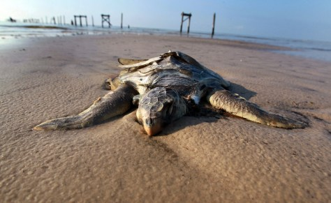 Image: Dead sea turtle