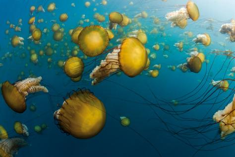 Image: Sea nettles