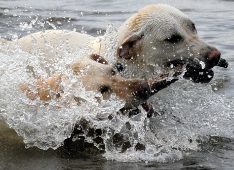 Image: Two labrador retrievers in ocean