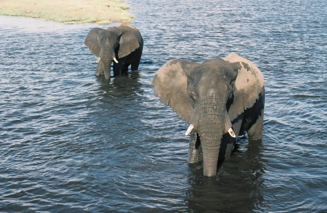 Image: Elephants in the Chobe River, Botswana.