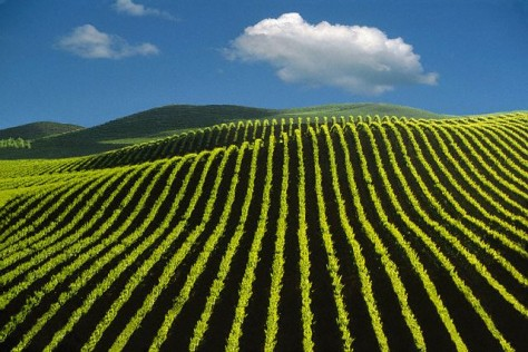 Image: Napa Valley vineyard
