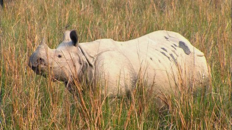 Image: One-horned rhino
