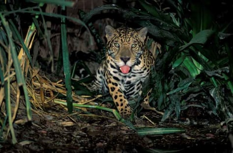 Jaguar, Manu National Park (Peruvian Amazon)