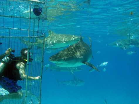 Image: Shark diving