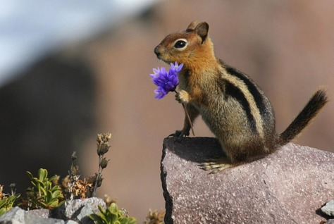 From Abruzzo Italy up in the mountains. Precious Chipmunk with a flower.