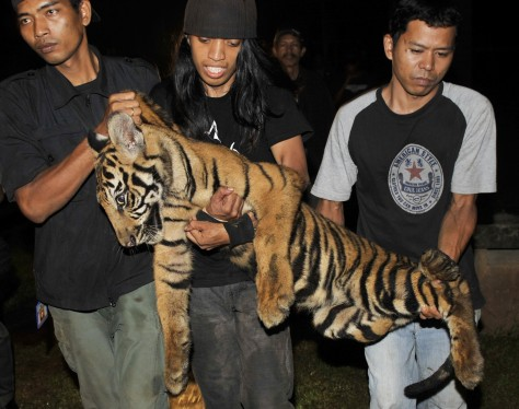 Image: Tiger rescued from estate of wealthy businessman
