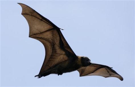 IMAGE: FLYING FOX BAT