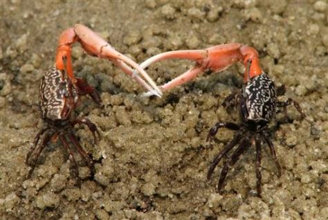Image: Fiddler crabs
