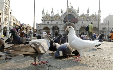 IMAGE: PIGEONS IN ST. MARK'S SQUARE