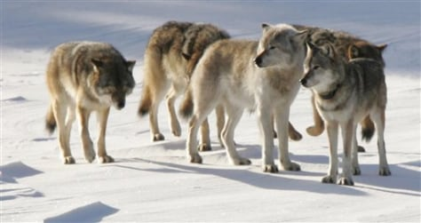 Image: Michigan wolves