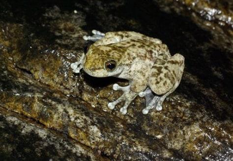 Australia Rare Frog Found