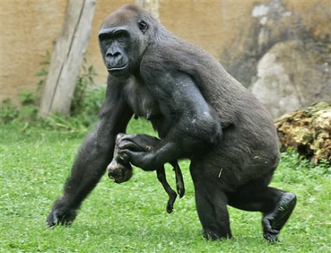 Image: Gorilla carries dead baby