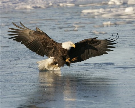 IMAGE: BALD EAGLE