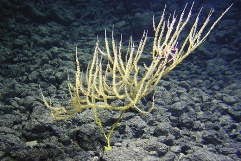 Image: New bamboo coral species
