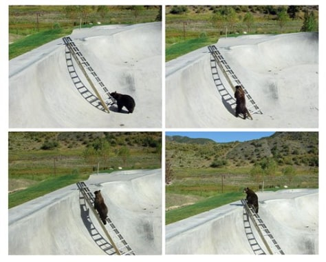 Image: Bear uses ladder to escape skate park
