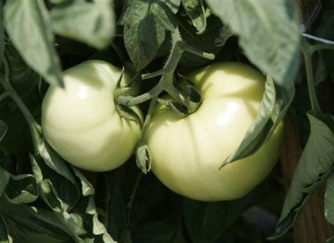 Image: Ripening tomatoes
