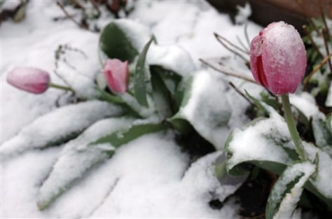 Image: Tulips covered with snow