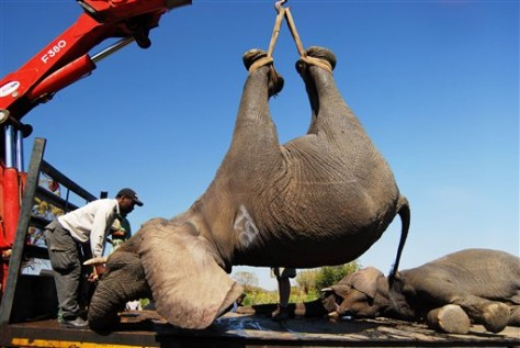 Image: Crane lifts tranquilized elephant