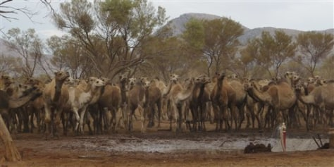 Image: Thirsty camels in Australia