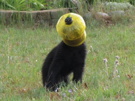 Image: Bear with head in feeder