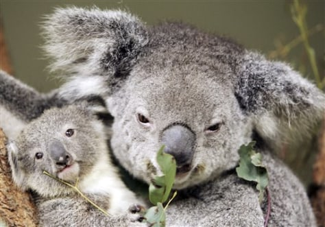 Australia Koala Threat