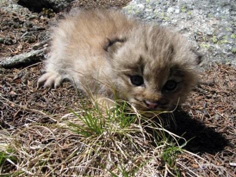 Image: Lynx kitten