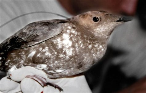 IMAGE: MARBLED MURRELET