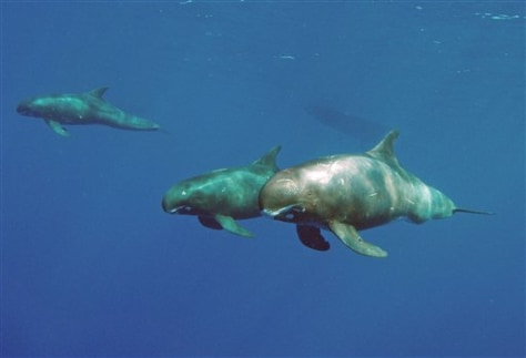 Image: Pygmy whales
