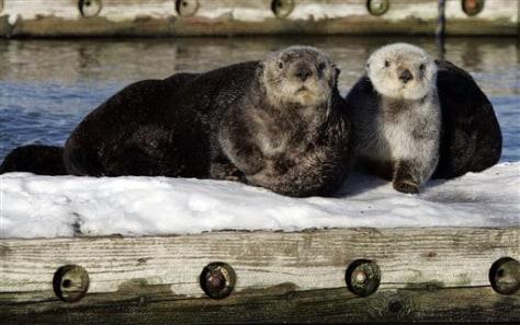 Image: Sea Otters