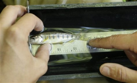 Image: Rescued steelhead trout