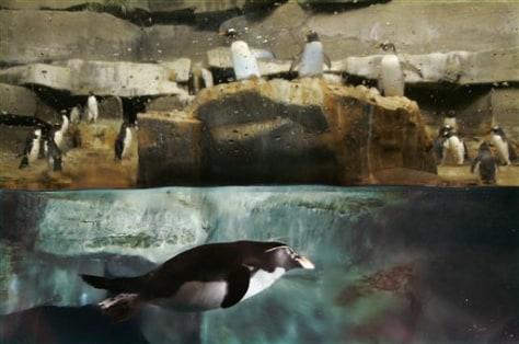 APTOPIX Nesting Penguins