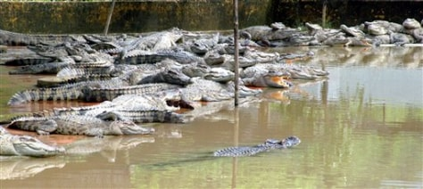 IMAGE: Crocodiles on farm